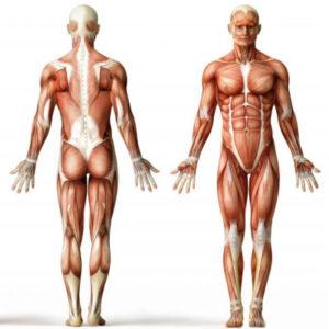 fiber muscles