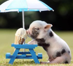 piglet relishing ice cream kept on a stool